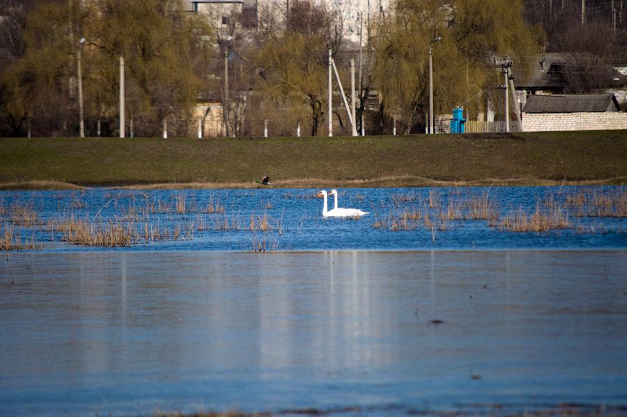 Белые лебеди