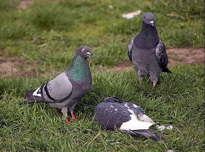 Голуби заклевали сородича