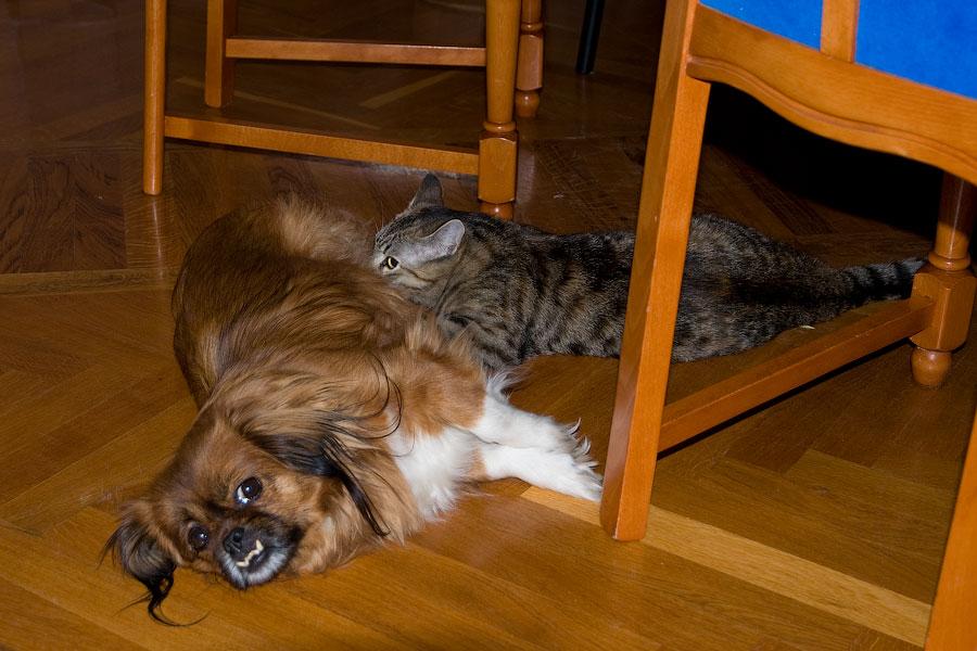 Собака кормит котенка своим молоком