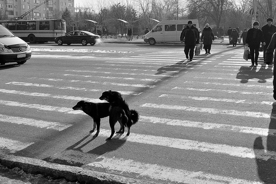 Собачки на пешеходном переходе ебутся!