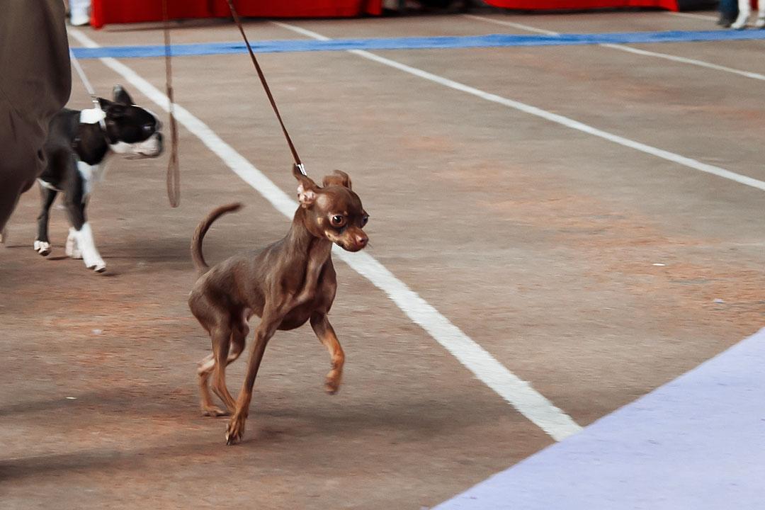 Международная выставка собак в Тирасполе - 8 сентября 2013 года (5)