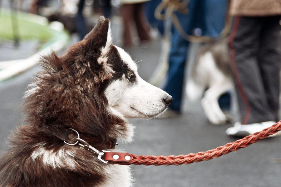выставка собак в Тирасполе - 15 сентября 2013 года (5)
