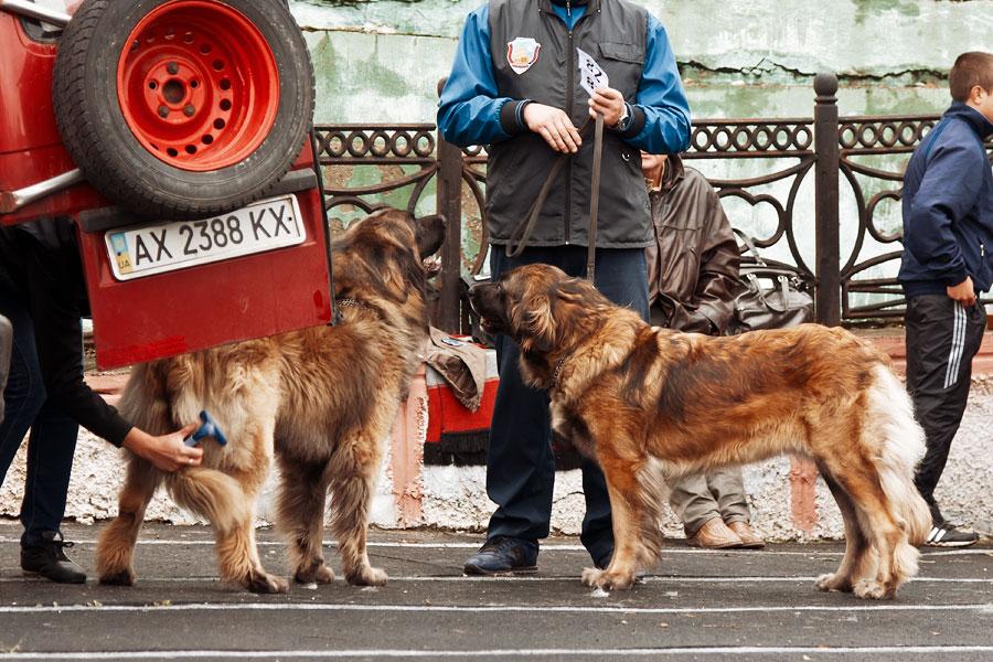 выставка собак в Тирасполе - 15 сентября 2013 года (9)