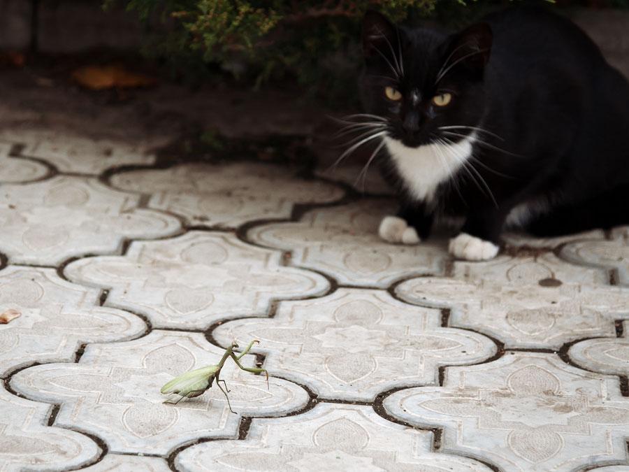 Школа богомола против школы кошки