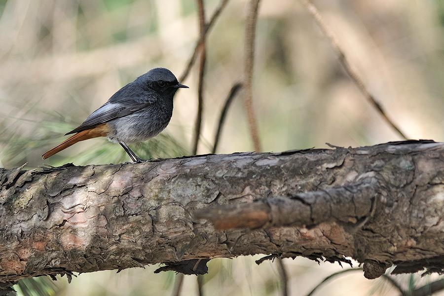 Неизвестная птичка в Тирасполе