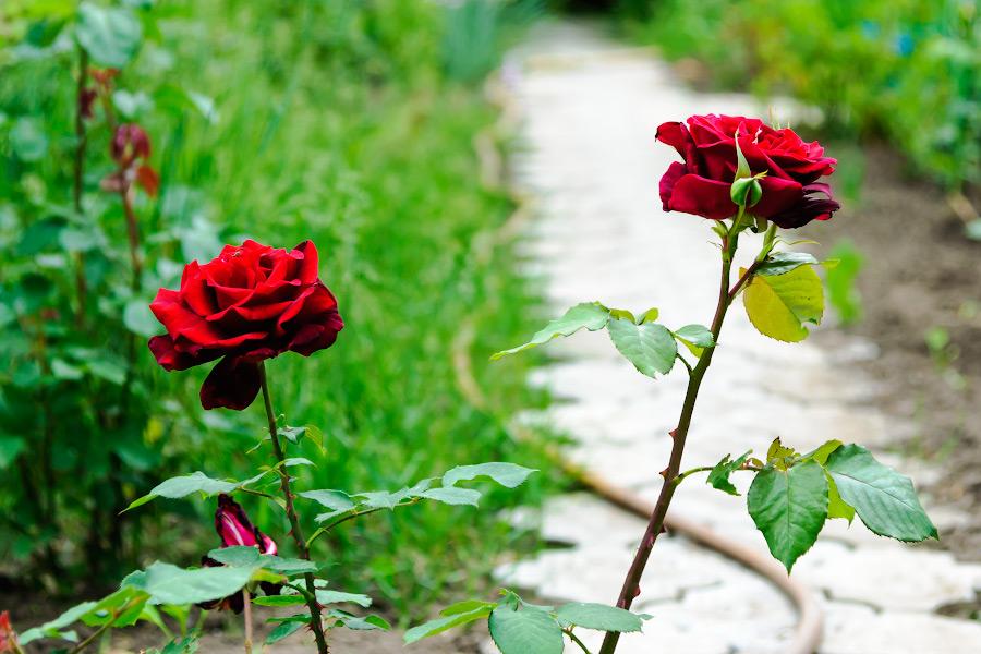 Весенним утром в огороде - розы