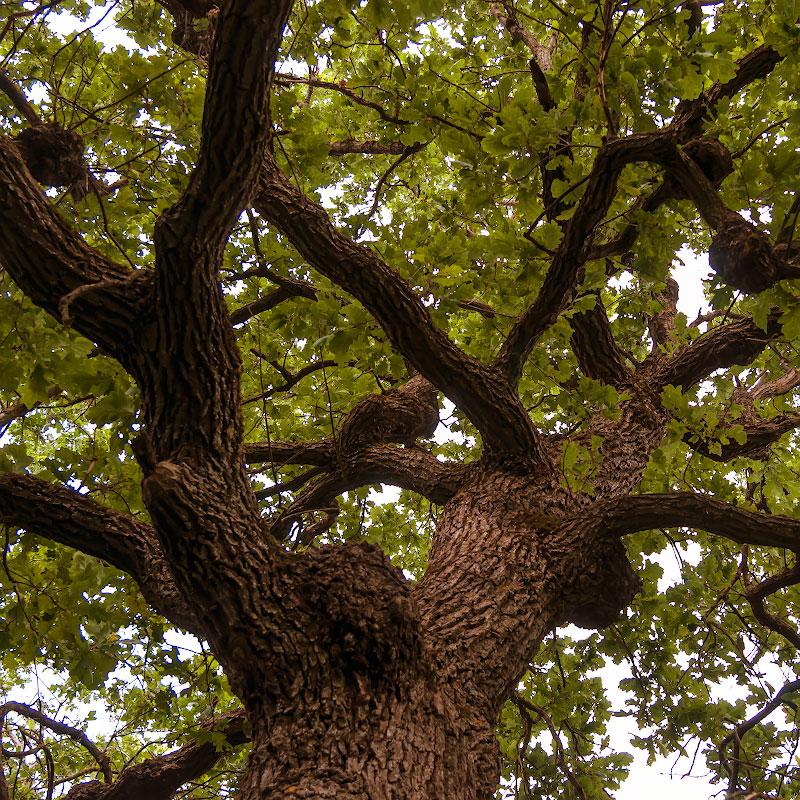 Дерево дуб в Молдавии