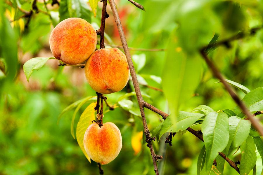 Лето в огороде - овощи и фрукты (1)