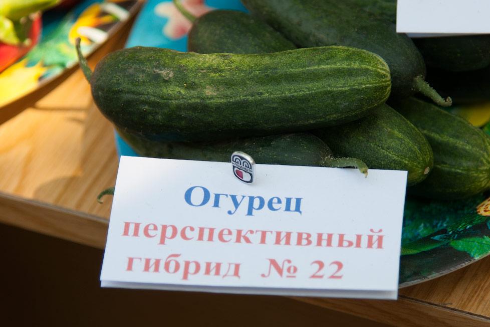Приднестровский перспективный огурец