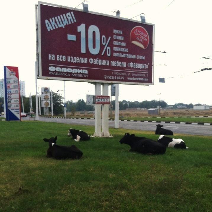 Коровы в Тирасполе