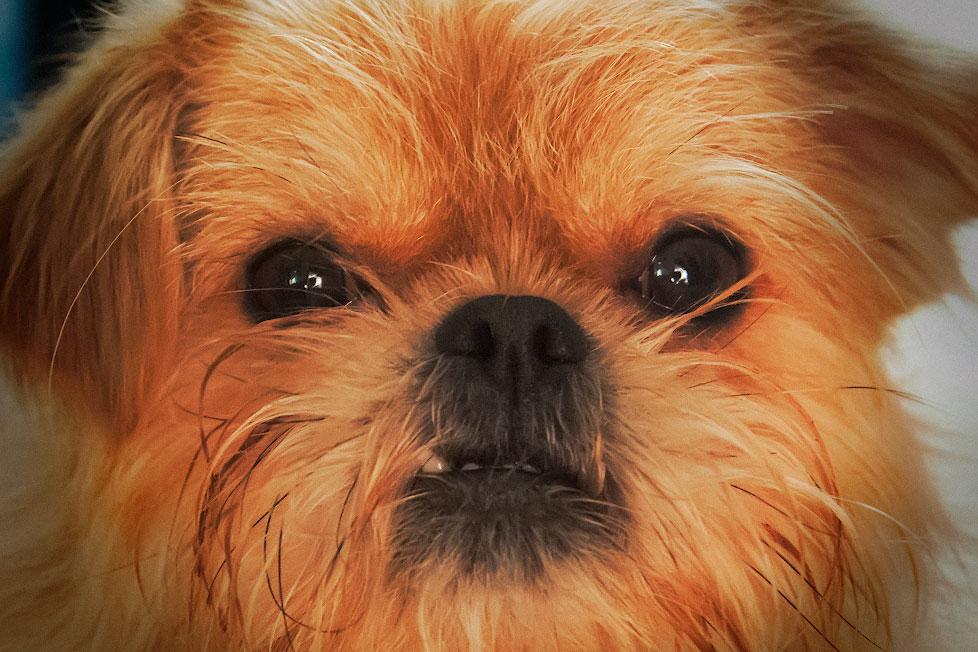 Собака грифон по кличке Чуи