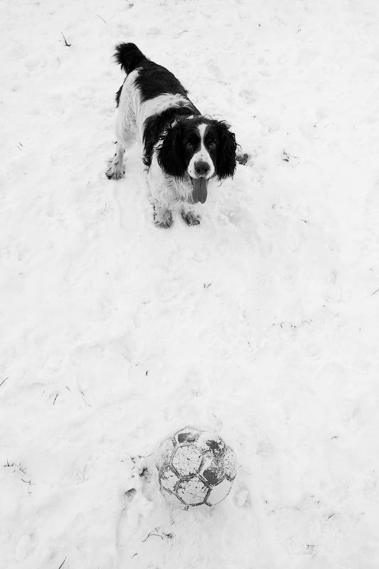 Портрет собаки спаниеля по кличке Бим