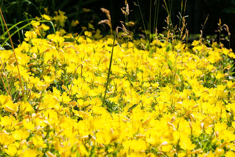 Жёлтые цветы в огроде