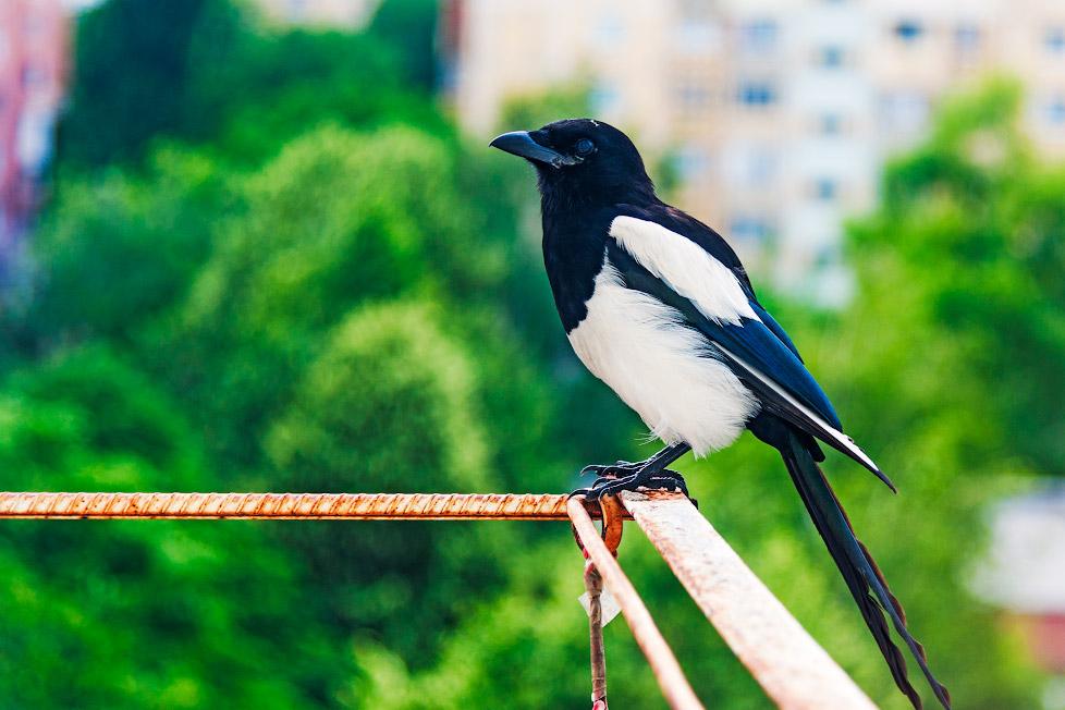 Птица сорока в Тирасполе