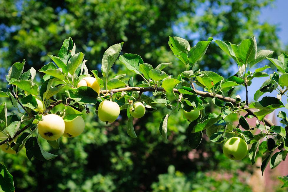 В Молдавии созрели яблоки