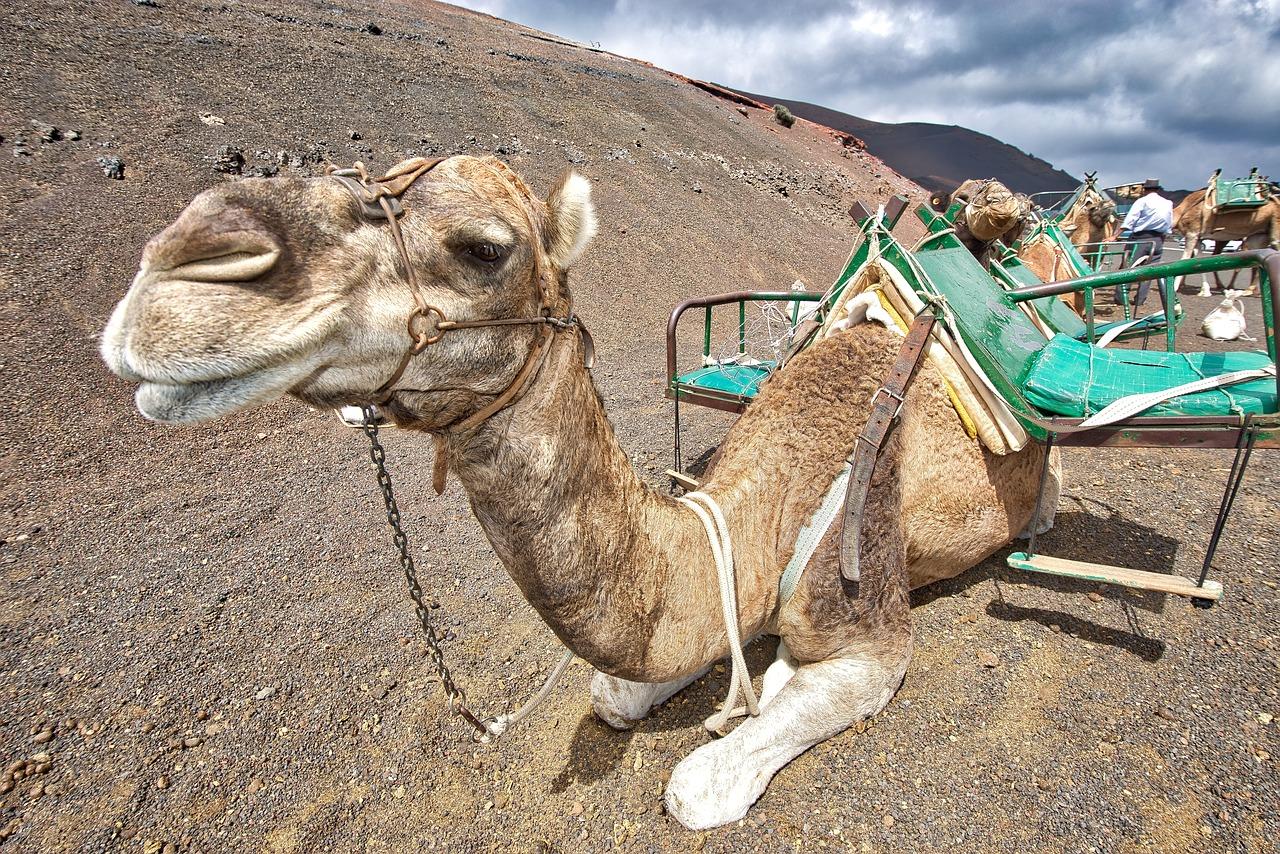 Верблюды в Приднестровье